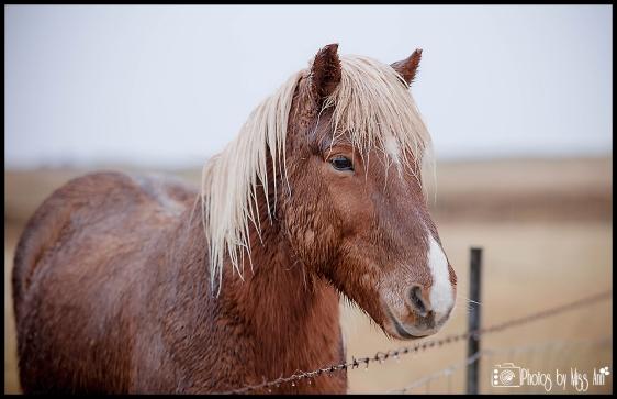 Horse Rental in Hella Iceland Hestaleiga Lækur Iceland Wedding Planner
