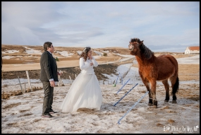 Iceland Wedding Icelandic Horses with the bride and groom