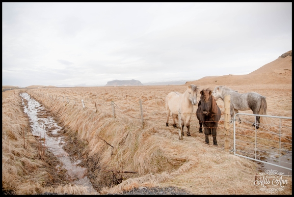 Wedding Photos in Iceland Horses Photos by Miss Ann