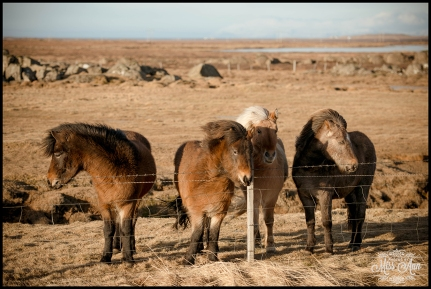 Icelandic Horses Snaefellsnes Peninsula Iceland Wedding Photographer